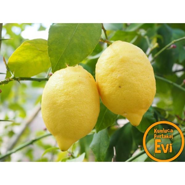 LAMAS Limon